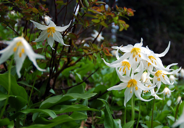 Avalanche lilies.  These are the first flowers to show at Mt. Rainier. Late June is the best viewing time.