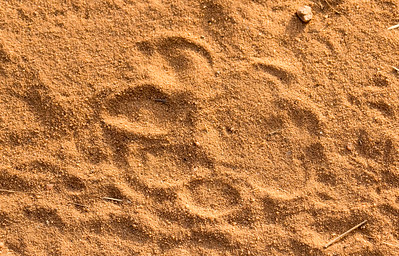 A fresh pug mark made by a female tiger in the early morning in Bandhavgarh Park, one of the areas in which TCF works. TCF also works to conserve the Asian one-horned rhino, the great Indian bustard, and other endangered species.