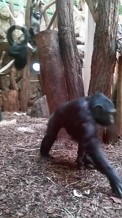 Video of the Chimps