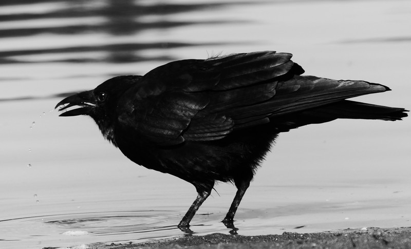 Drinking Crow