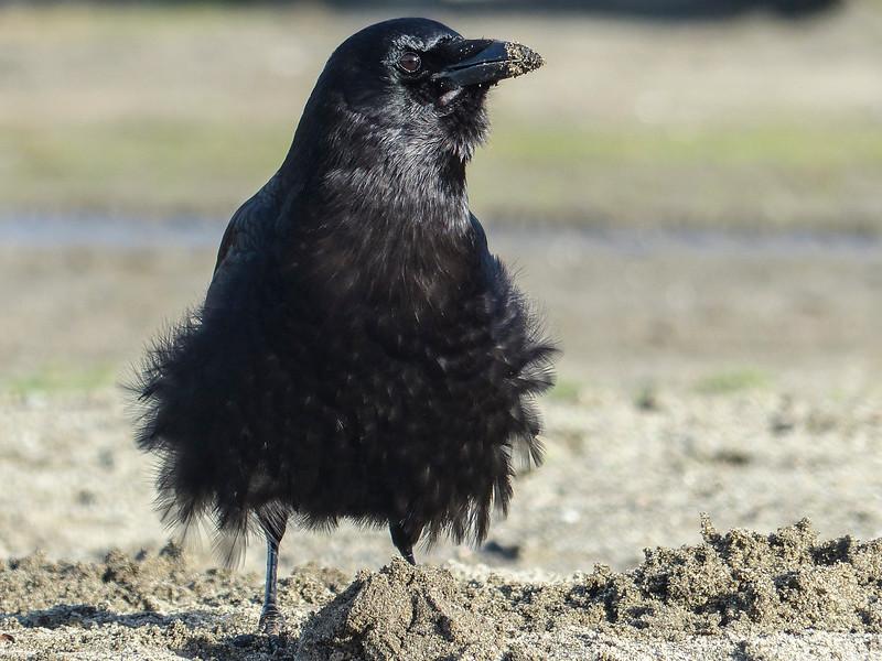 Crow with a Tutu