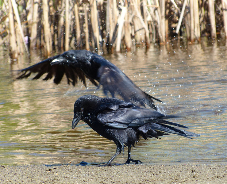 Water Crows
