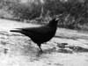 Puzzled Crow