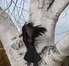 Aspen Crow