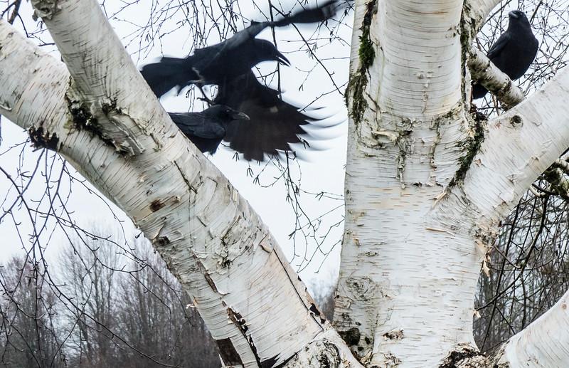 Aspen Crows