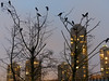 Twilight Crows