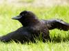 Yoga Crow