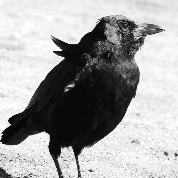 Lonesome Little Crow