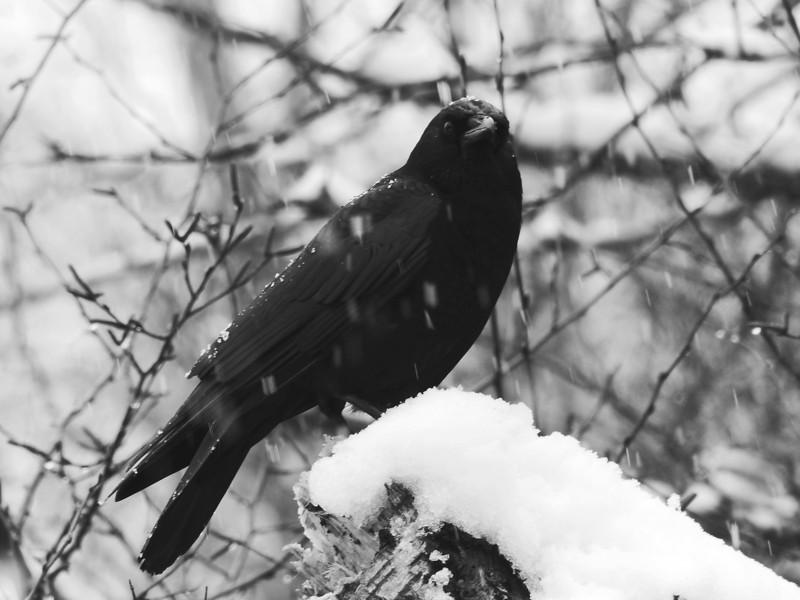 Winter Crow III