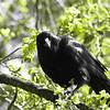 Crow Gaze