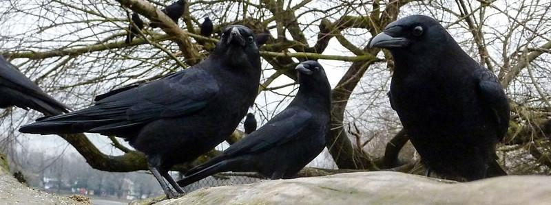Crow Mafia