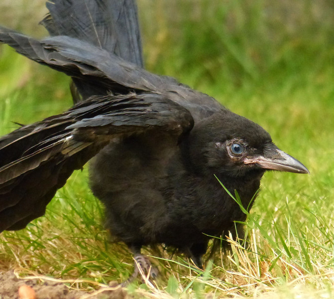 Fledgling Crow