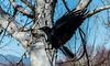 Aspen Crow III