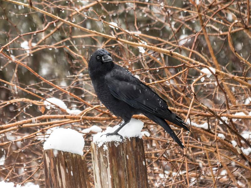 Winter Crow II