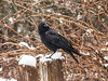 Winter Crow II