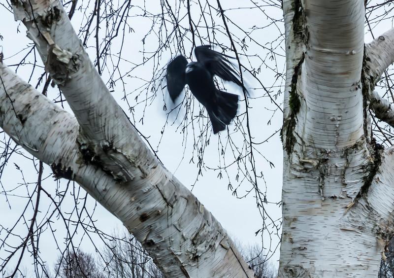 Aspen Crow II
