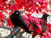 Crows in Red
