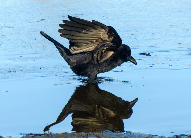 A Crow in the Mirror