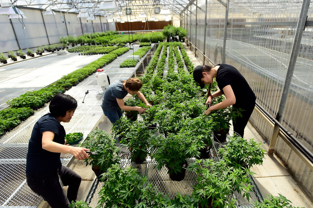 . You Chun Li, left, Maggie Ullrich and Franchesca Abeyta work to clip clones from hemp plants at the Cultivas Bio Hemp Nursery inside Lafayette Florist greenhouse on Wednesday in Lafayette. For more photos of the hemp nursery go to dailycamera.com Jeremy Papasso/ Staff Photographer 03/21/2018
