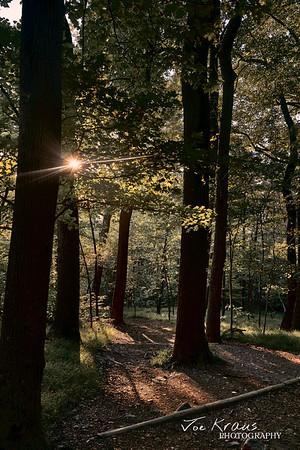 Light thru the Forest