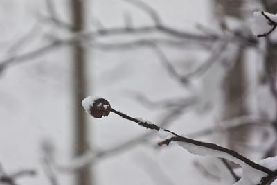 Frosty Tree Bud