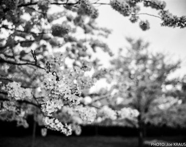 White Cherry's