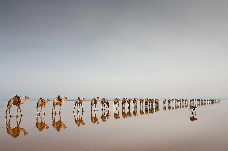 Camel caravan coming to collect salt.