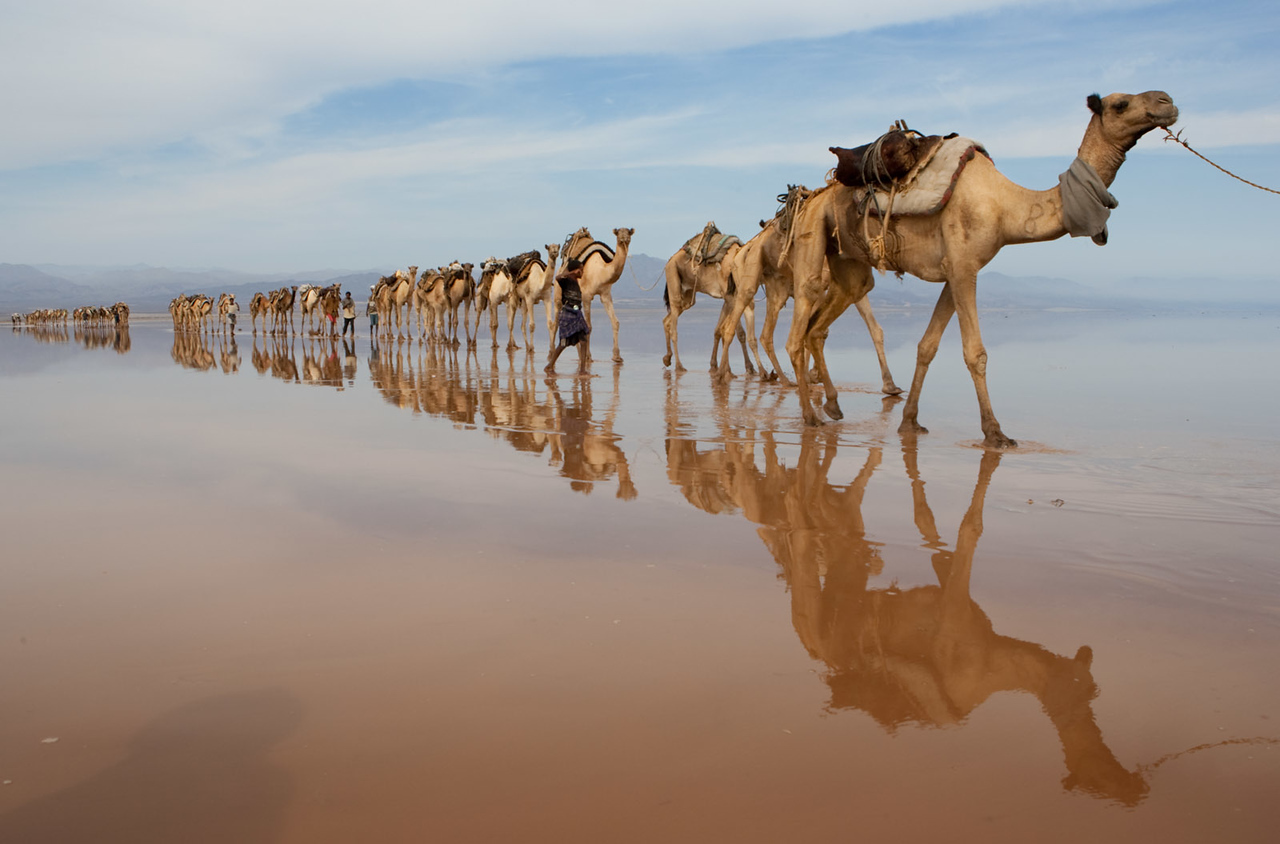 Camel caravan coming to collect salt.