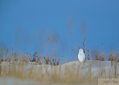 Male Snowy Owl perches on a sand dune at Island Beach State Park, NJ