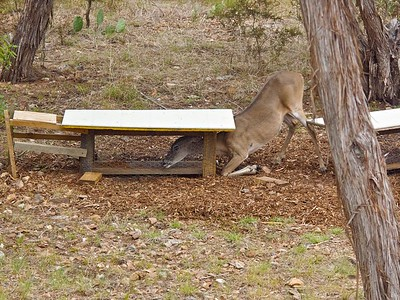 D   Victory is so sweet!  062511-11 Deer