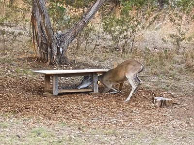 B  The deer seem to love cat food!  053011-01 Deer
