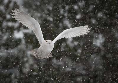 Dive Bomber flying up through the snow