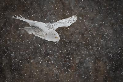 Dive Bomber gliding through the snow