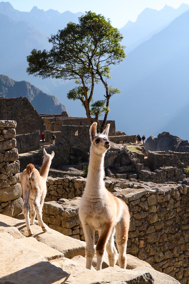 Baby Llamas in Machu Picchu