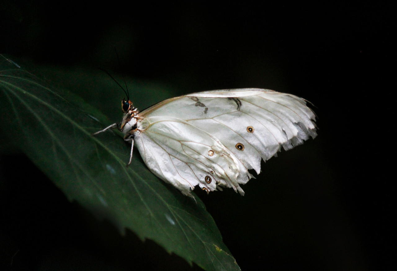 Ebony and Ivory Butterfly