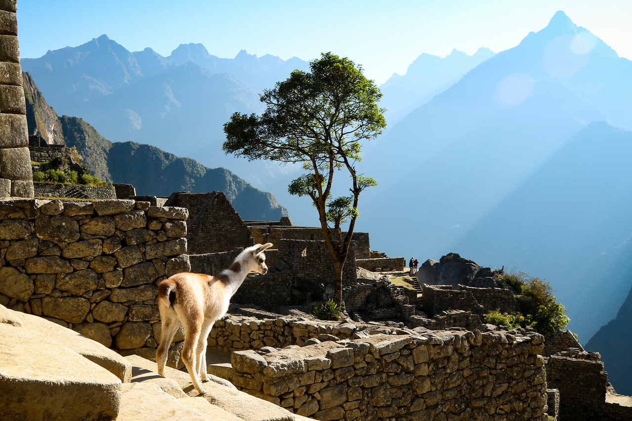 Baby Llama Looking For Her Mama