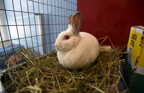 RYAN HUTTON/ Staff photo<br /> Bugs is a bunny up for adoption at the MSPCA at Nevins Farm.