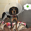 RYAN HUTTON/ Staff photo<br /> Pasta, a hound dog, is up for adoption at the MSPCA at Nevins Farm.