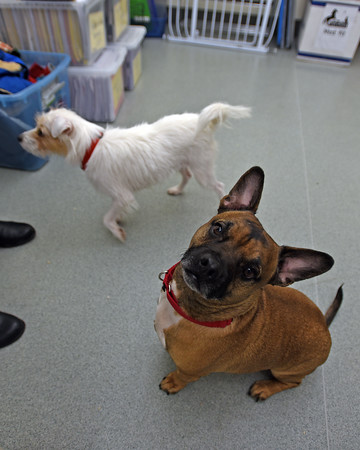 RYAN HUTTON/ Staff photo<br /> Gordo, right, a seven-year-old bulldog mix, and his friend Whippany, a four-year-old parson terrier, are both up for adoption at the MSPCA at Nevins Farm.