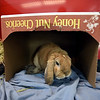 RYAN HUTTON/ Staff photo<br /> Bits is a two-year-old bunny up for adoption at the MSPCA at Nevins Farm.