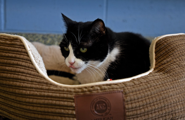 RYAN HUTTON/ Staff photo<br /> Seven-year-old Oreo is up for adoption at the MSPCA at Nevins Farm.