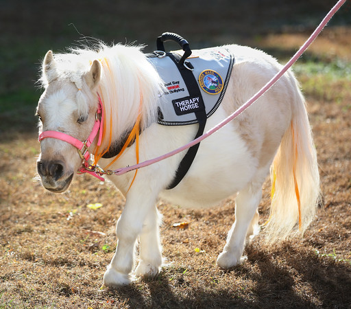 MIKE SPRINGER/Staff photo<br /> Peaches, a miniature horse with dwarfism, goes for a walk Monday at Toni Hadad's farm in Andover. Peaches is one of the star attractions of Hadad's organization Lifting Spirits Miniature Therapy Horses.<br /> 10/14/2019
