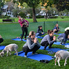 CARL RUSSO/Staff photo. Goat yoga class in the Andover Park Thursday night. The Andover Recreation Dept. held the event featuring baby goats from Chip-in Farm in Bedford Ma. 9/19/2019