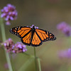 TIM JEAN/Staff photo<br /> <br /> A monarch butterfly lands in the gardens surrounding the historic North Parish Unitarian Universalist Church also known as the Meeting House, built in 1836.    9/26/19