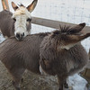 TIM JEAN/Staff photo <br /> <br /> Two donkeys named Daisy, and Levi who belong to Jeff Caira, who lives on Bush Hill Road in Pelham, NH. Caira is one of several property owners that was threatened when an ordinance was approved last year not allowing livestock on residential properties of under 3 acres in town. 2/19/20