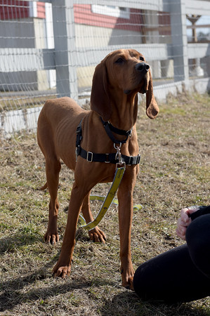 TIM JEAN/Staff photo <br /> <br /> Payton, 3, year old female Redbone Coonhound is one of three dogs and 15 goats awaiting new homes at the MSPCA in Methuen. The animals are from a woman who was arrested for hoarding animals at her home in Freetown, Mass.   2/12/20
