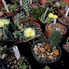 TIM JEAN/Staff photo <br /> <br /> A small section of succulents in the greenhouse owners by Art Scarpa, of Atkinson, NH. Scarpa has the largest collection of succulents in New England.   2/19/20