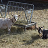 TIM JEAN/Staff photo <br /> <br /> Two of 15 goats awaiting new homes at the MSPCA in Methuen. The animals are from a woman who was arrested for hoarding animals at her home in Freetown, Mass.   2/12/20