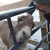 TIM JEAN/Staff photo <br /> <br /> Jeff Caira pats the top of Daisy, one of his two donkeys at his home on Bush Hill Road in Pelham, NH.  Caira is one of several property owners that was threatened when an ordinance was approved last year not allowing livestock on residential properties of under 3 acres in town. 2/19/20