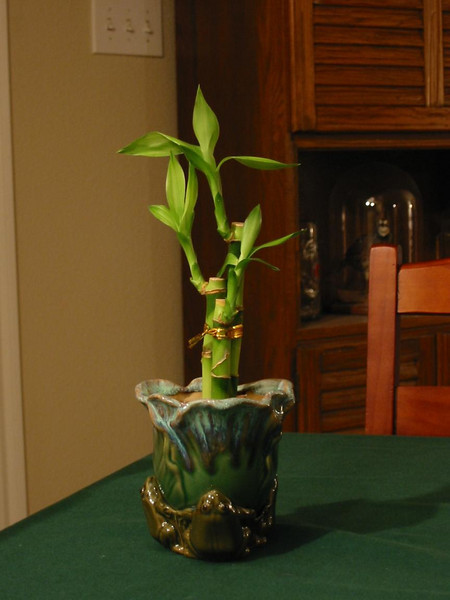12-BambooPlant